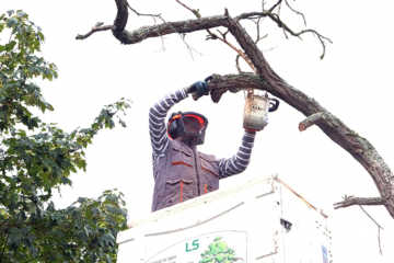 Étêtage d'arbres